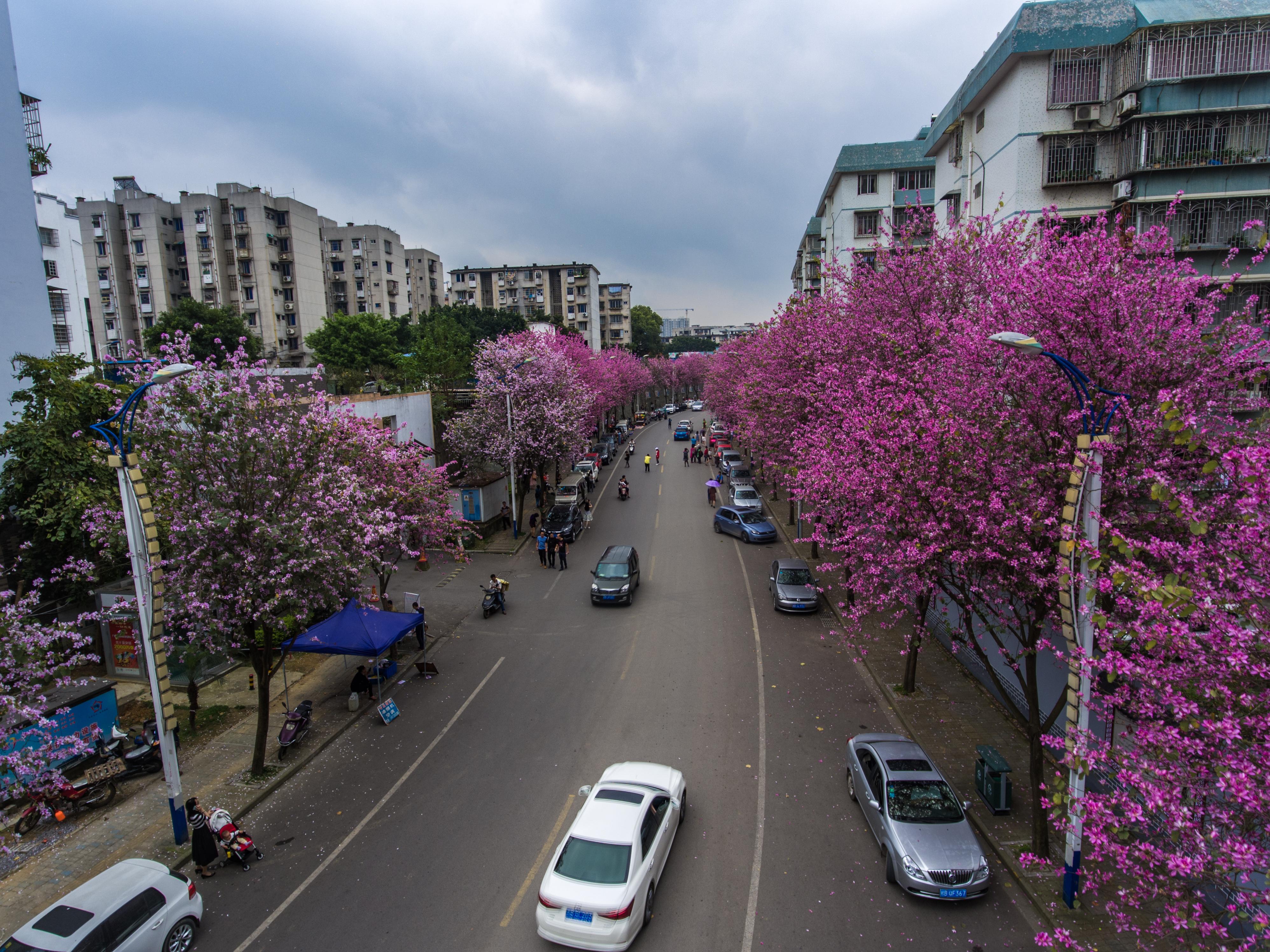 风吹花语:紫荆繁茂吐馨香