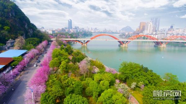 """紫荆花即将满城盛放 如何实现在""""庭院""""前一揽芳华?"""