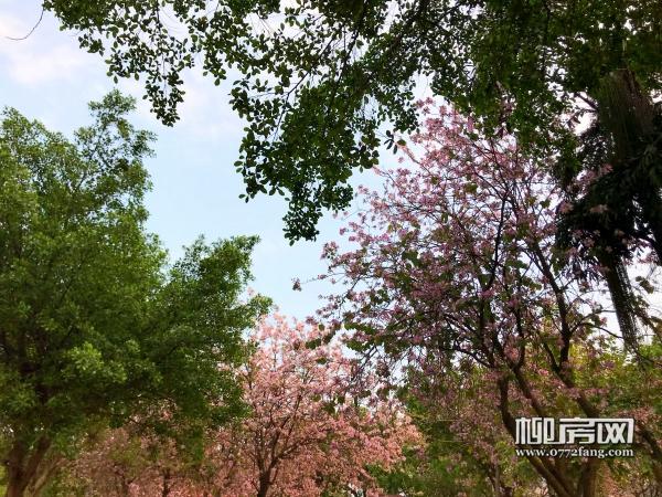 紫荆花图 (2).jpg