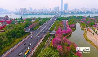 柳州紫荆花开